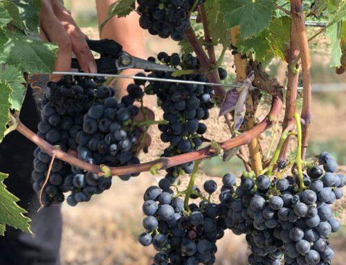 Benvingut Trobat, primera collita d'aquesta varietat de raïm, en procés de recuperació, a Vinya els Vilars